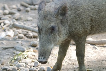 Cute Wild Boar in the mud