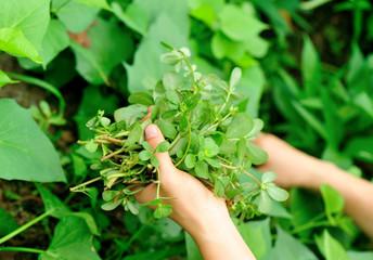 woman hands picking herba portulacae in garden
