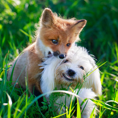 red fox pup and dog