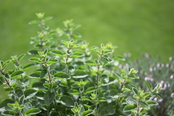 Small herb garden