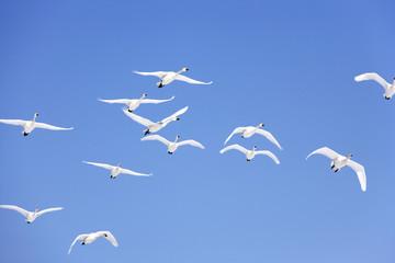 Flock of swans flying