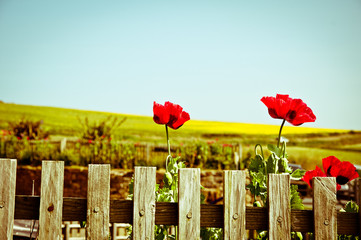 Poppies and wood fence in a field