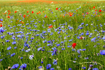Blaues Kornblumenfeld mit Mohnblumen