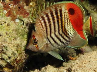 Red Sea Eritrean Butterflyfish.