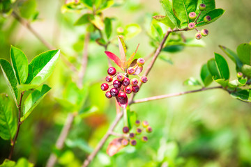 Aronia in summer