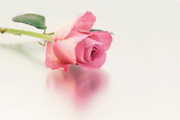 Rose mit Spiegelung