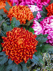 Orange Pompon Chrysanthemum