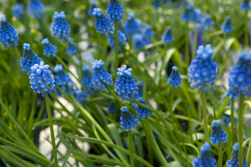 Blue Muscari flowers, grape hyacinth