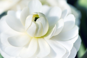Close up of white lotus flower