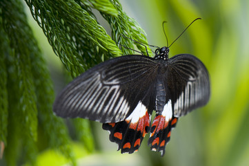 Female common mormon butterfly