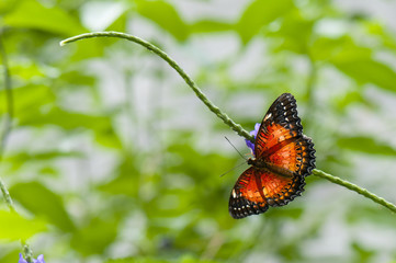 Tropical butterfly (Cethosia hypsea)