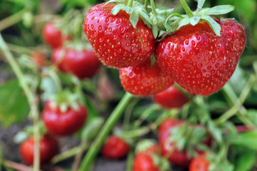 close-up of ripe strawberry