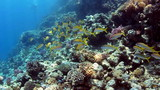 Shoal of yellowfin goatfish, swimming on coral reef. poster