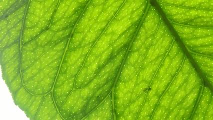 Zitrone, Makroaufnahme eines Blatts