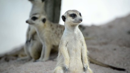 Meerkat (Suricate) family, the small animals of africa
