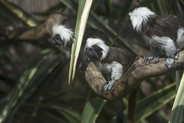 Cotton-headed Tamarin (Saguinus oedipus)