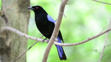 Asian Fairy-bluebird (Irena puella) sits on branch