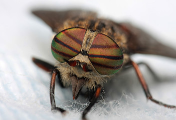 Eyes of an insect. Portrait Gadfly. Hybomitra horse fly head