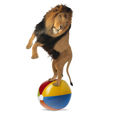 Lion balancing on a big ball
