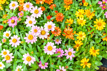 Beautiful multi-colored daisy flowers arranged in rows