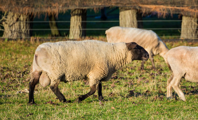 Hampshire Ram Sheep