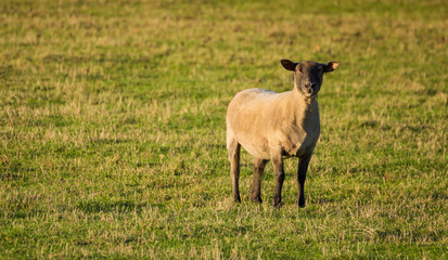 Hampshire Ram