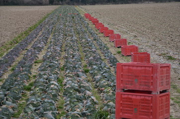 view of a cutted cabbage with red plastic cases