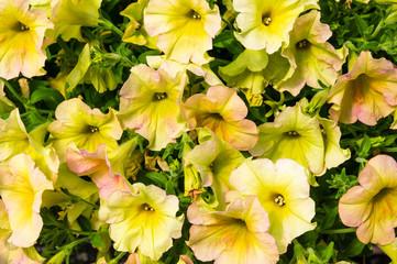 Colorful Petunias flower plants in bloom
