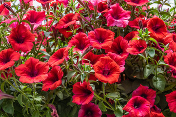 Colorful Petunias flower plants in bloom