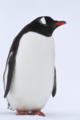 Gentoo penguin standing on the snow in Antarctica