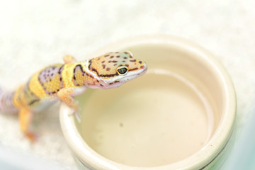 Baby bearded dragon with food bowl on white background
