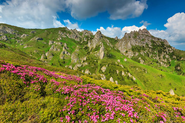 Pink rhododendron flowers in the mountains,Ciucas,Romania