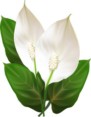 two isolated spathiphyllum flowers