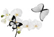 large white orchid flowers and two butterflies