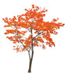 bright isolated red maple tree
