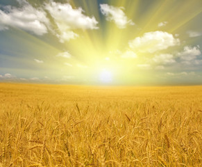 gold wheat field under clouds