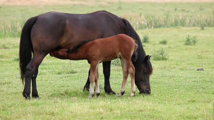 black mare and brown foal breastfeeding in the field