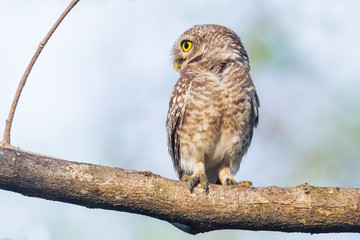Spotted owlet  turn her head in nature of Thailand