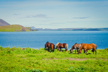 Icelandic Horses on a meadow near beautiful landscape of a famou