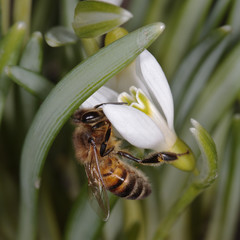Macro photo of a honey bee on a snowdrop flower