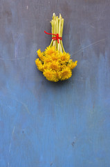 fresh dandelion flower bunch on blue wall