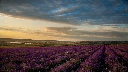 Lavender field under blue sky with clouds at sunset. Timelapse.