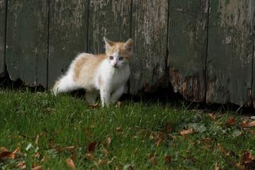 rot-weißes Katzenbaby