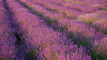 Bushes blooming lavender swaying in the wind