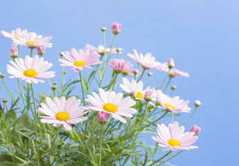Pale pink daisies with blue sky background