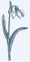 Vector drawing. First spring flower - Snowdrop