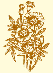 Vector drawing. Bright yellow flowering Tagetes