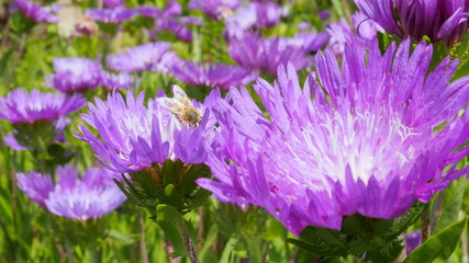 Bees gathering pollen from purple flower garden