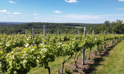Vineyard in Ct