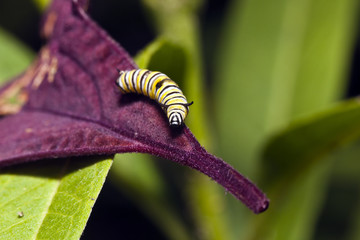 A Monarch butterfly (Danaus plexippus) caterpillar